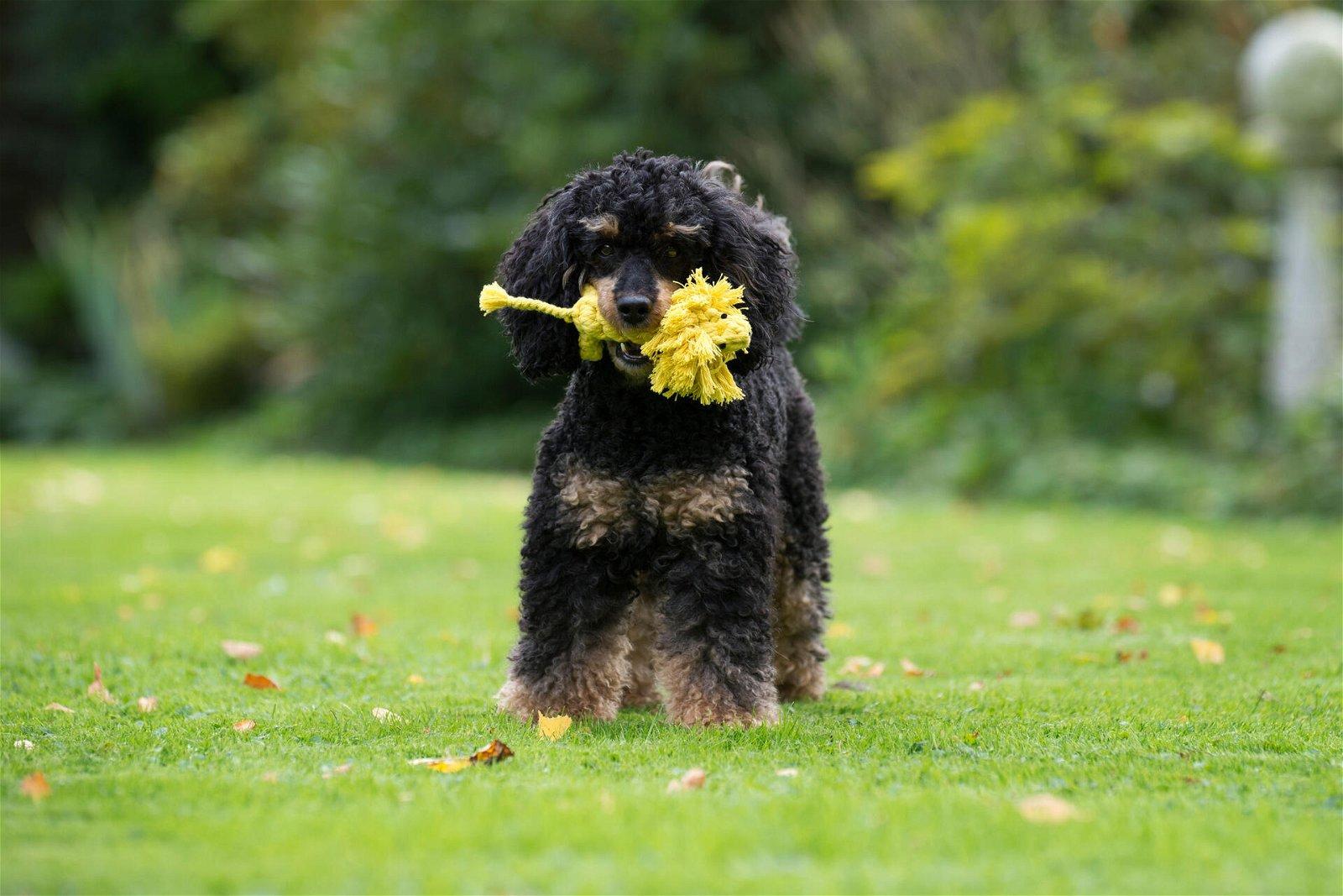 Hundespielzeug Leo Löwe aus Baumwolltau - Gelb, zahnpflegend und robust, (B/H/T) 15x7x6 cm