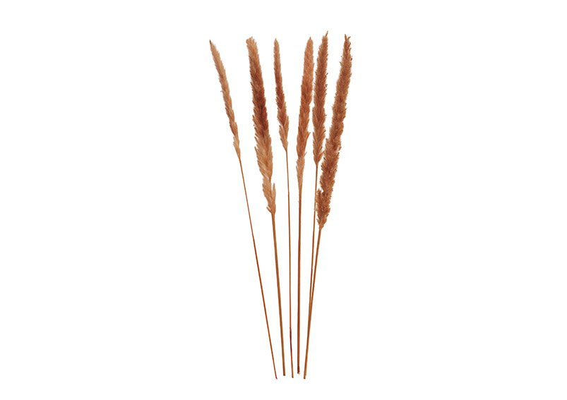 Pampas grass brown set of 6, 75cm